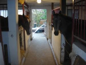 Boxe Horse OM Cultures
