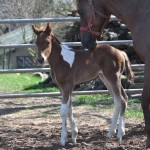 Elevage de Paint Horse et Quater Horse en Moselle (57)