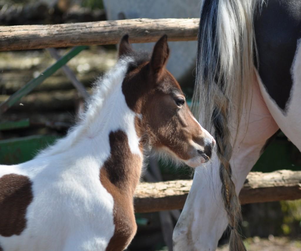 Eleveur de chevaux en Lorraine