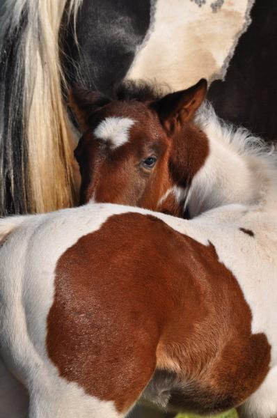 Poulain paint horse homozygote, au Horse OM Cultures