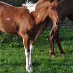 Django Such Hobby, cheval américain à vendre